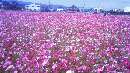 Imo_fujiwara2